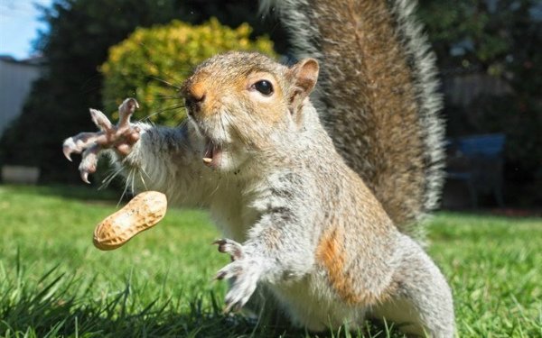 3-thumb2-squirrel-lawn-peanut-funny-animals-walnut.jpg
